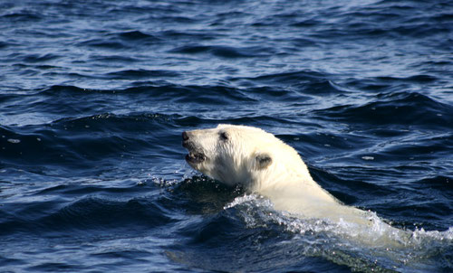 Oso polar nadando en el mar de Beaufort en 2012. / NOAA Photo Library