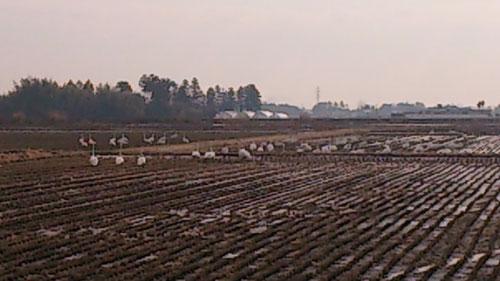 近所の田んぼでエサを探したり、休んだりしていました