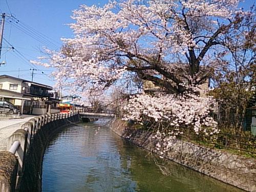 内川沿いの桜