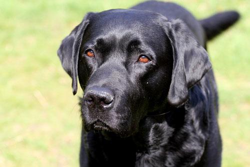 Gandalf unser schwarzer Labrador