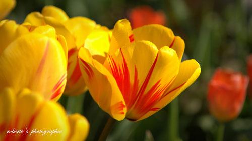austria / vienna / spring flowers