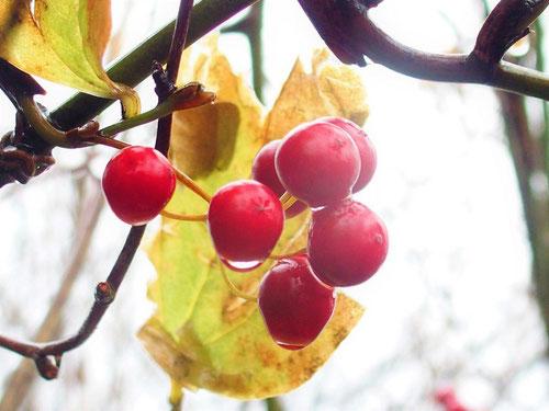 サンキライです。バックの黄葉が赤い実を引き立てています。