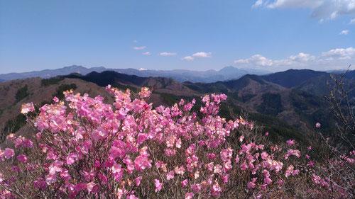 @鳴神山山頂のアカヤシオと日光連山