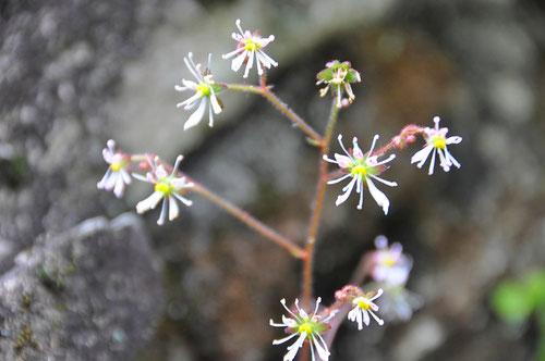 筑波山神社裏に咲いているホシザキユキノシタ