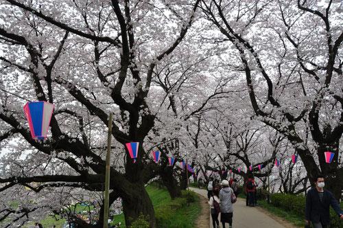 約1kmも続く満開の桜のトンネルは圧巻です