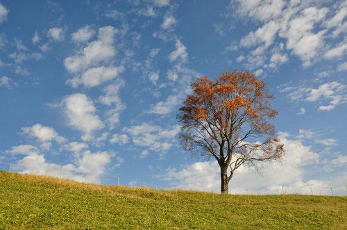 秋の孤高のブナ@中倉山