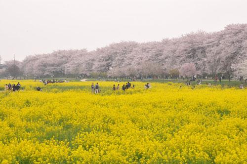 菜の花の黄色と桜のピンクのコントラストが素敵です