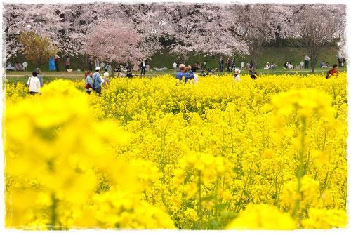 権現堂の桜と菜の花のコラボレーション@埼玉県幸手市