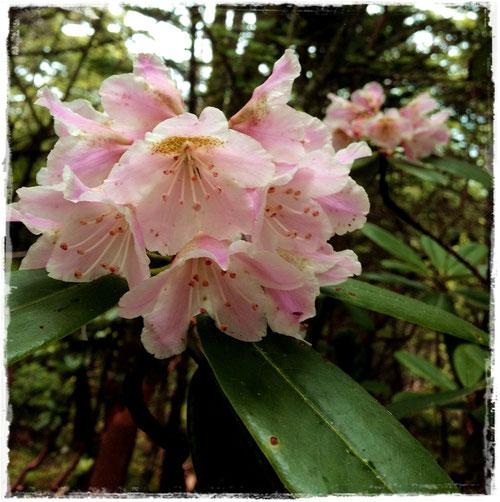 まだ咲いていたシャクナゲ