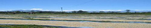 壮大な生豆の天日乾燥