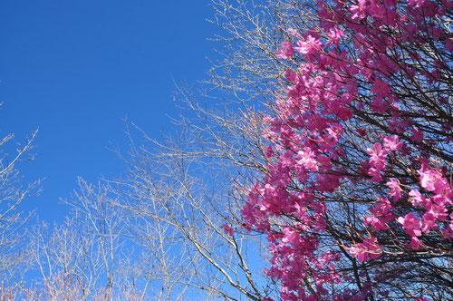 青い空とピンクのアカヤシオがビューティフル!