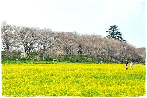 桜と菜の花のコラボレーション(パッケージの材料となった写真)