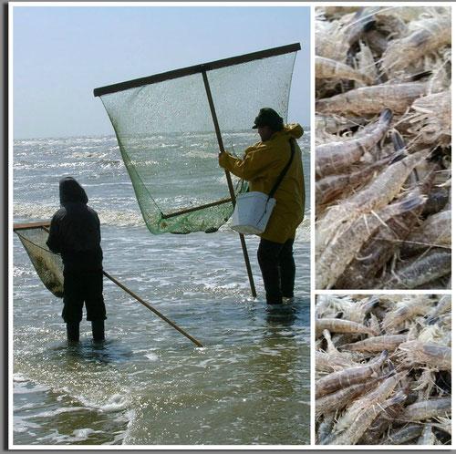 Pêcheurs de crevettes grises sur la plage de Cayeux-sur-mer