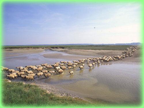 moutons de prés salés taversant la baie de somme