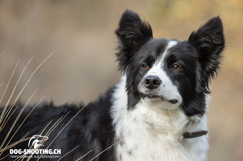 Leo Schwery's Border-Collie Lynn