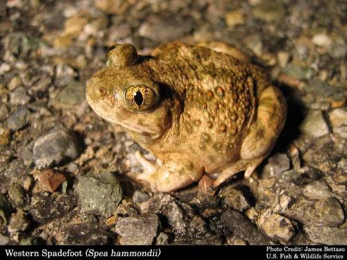 The desert Spadefoot Toad