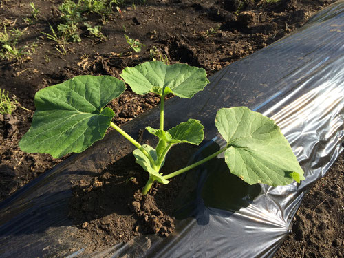 定植されたかぼちゃ(5月下旬)
