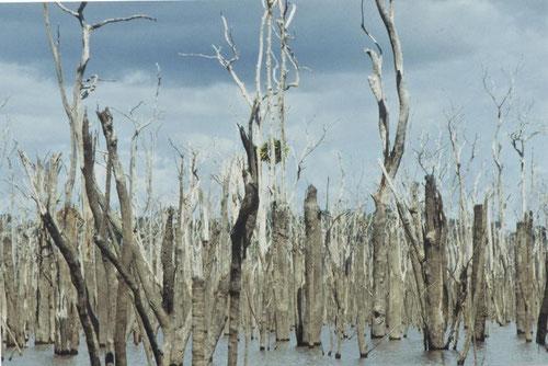 ©Gunkel. Eingestaute Vegetation in Curua Una Stausee, 22 Jahre nach Einstau zur Zeit niedrigen Wassestandes.
