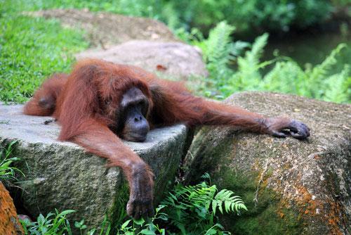Orang Utan beim Mittagsschläfchen