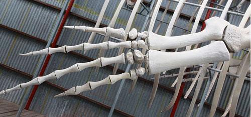 Die Vorderflosse vom Blauwall misst alleine schon 4  Meter