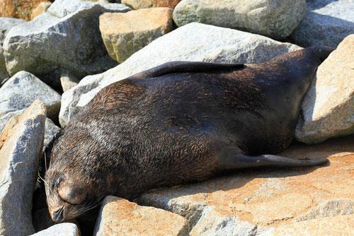 Australischer Seebär