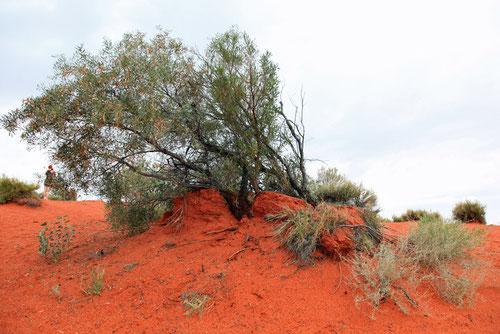 Busch mit keinem Känguruh