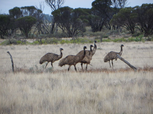 Wild emus by the road