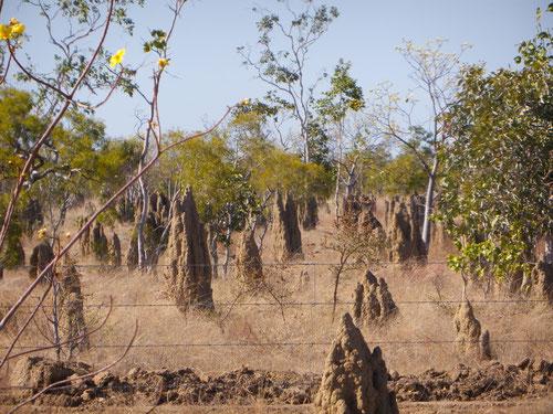 More termites
