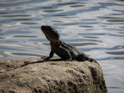 Lizard by the lake