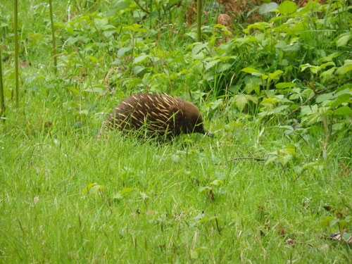 An echidna on our travels to St Mary's