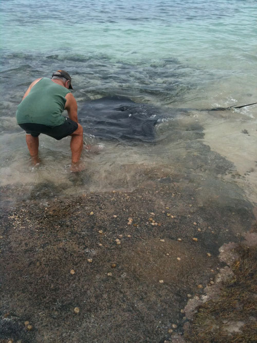 Some bloke feeding the ray fish from the beach - about 2 metres long