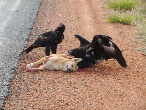 Eagles vs dingo