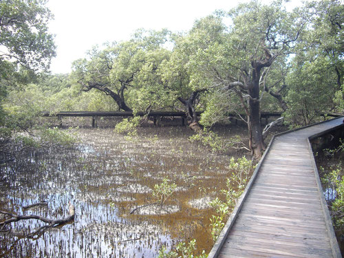 Mangroves in Huskisson
