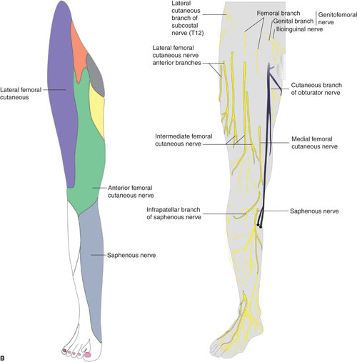 sensory function of the femoral nerve