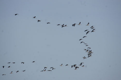 Vol de grues au dessus du gîte