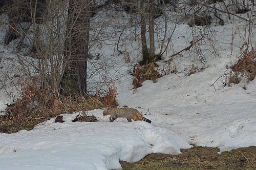 Belegfoto Detlef Stiller: Wildkatze, Navarra, März 2019