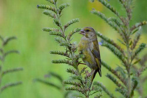 Grünfink (Jungvogel) beim Samenschmaus auf Natternkopf in unserm Garten