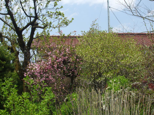 左から杏、海棠、どうだんつつじ
