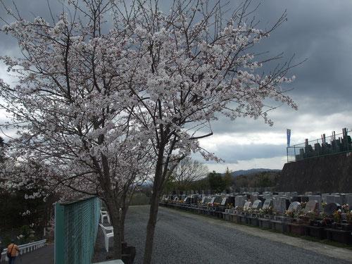 霊園一角にある桜
