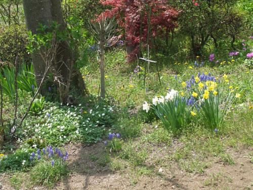 二輪草、日本桜草、水仙、ムスカリ
