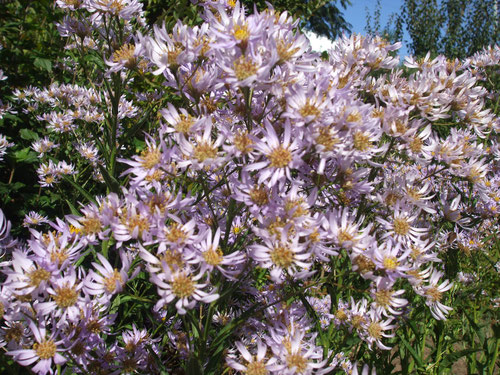 紫苑、丈は見上げるほど