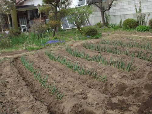 ネギ苗を植えて根元に土をかぶせます