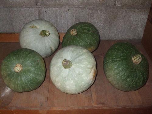 今年の南瓜。大きいのは5つ、物置に保管する。