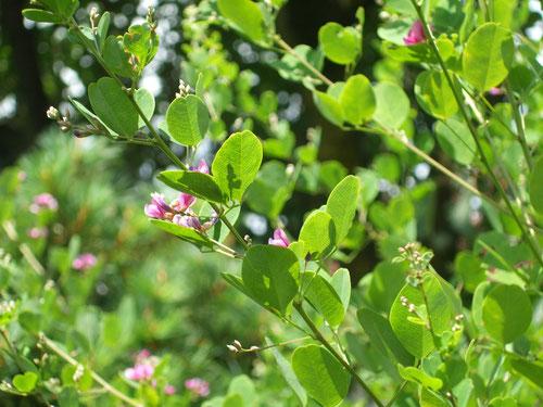 萩の花も生い茂った木の陰で咲いている