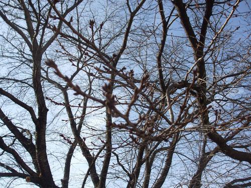 小海線、北中込駅の桜の大木、芽はまだまだ硬い
