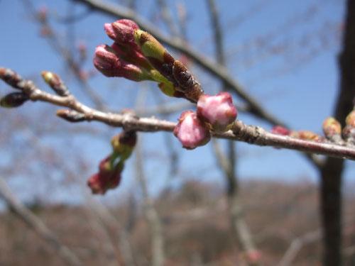 桜はまだ一分咲き