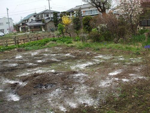 冬を過ごした畑に石灰をまきます