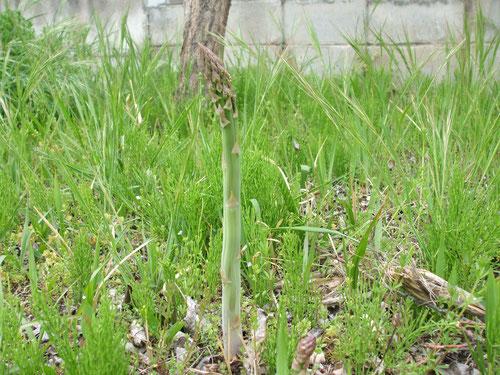 裏庭は雑草だらけ、太いアスパラが5本も!裏には緑のクリカボチャの苗を植える