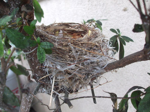 ヒヨドリの巣、作製中