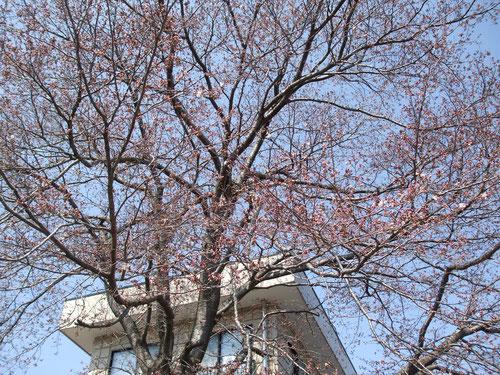 霊園の入り口、桜まだまだです